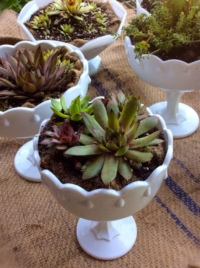 Vintage Milk Glass Compotes with Succulents