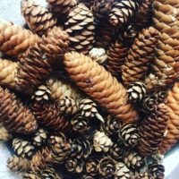 Assorted Pine Cones